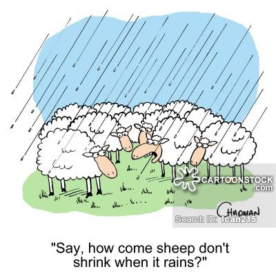 'Say, how come sheep don't shrink when it rains?'